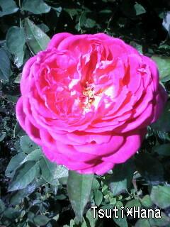 実家の薔薇