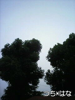 6月のユリノキ